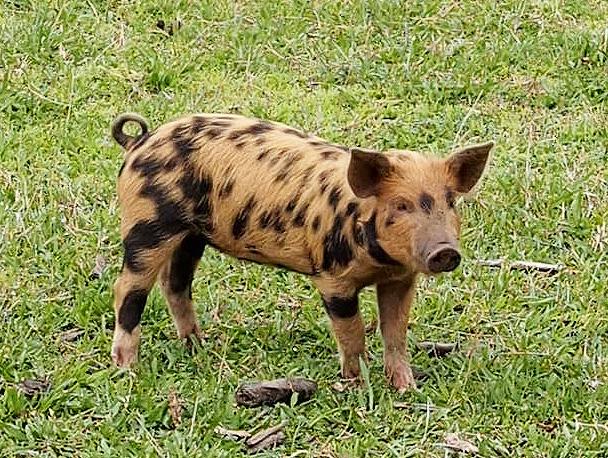 Leopard Pig Krinklewood Biodynamic Vineyard