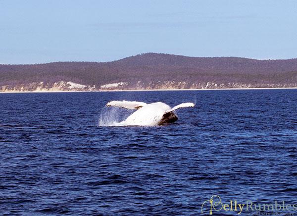 Hervey-Bay-Whales-1