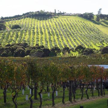 Wine making on Waiheke Island
