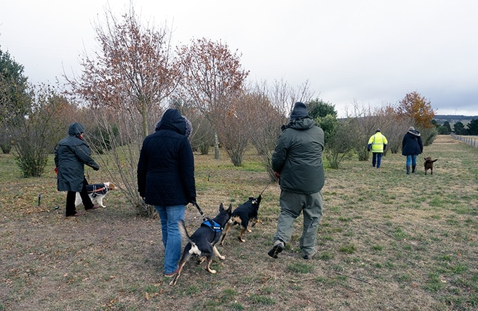 Dogs hunting for perigord truffles