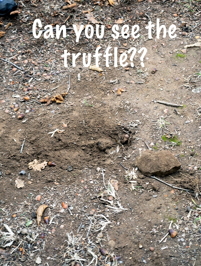 Can you spot the truffle in the dirt?