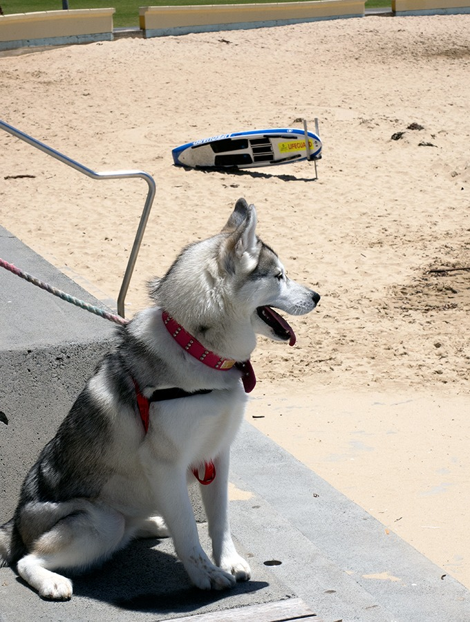 Zimzala Restaurant Cronulla Beach - dog friendly dining in Cronulla - Harley the Super Husky