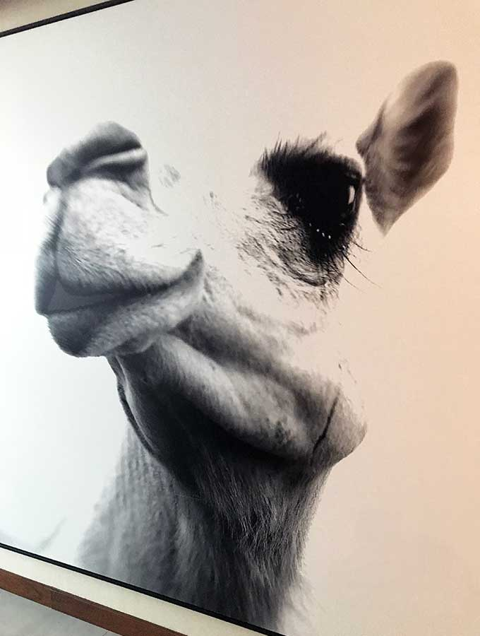 photo on the wall of the hotel room of a camel head