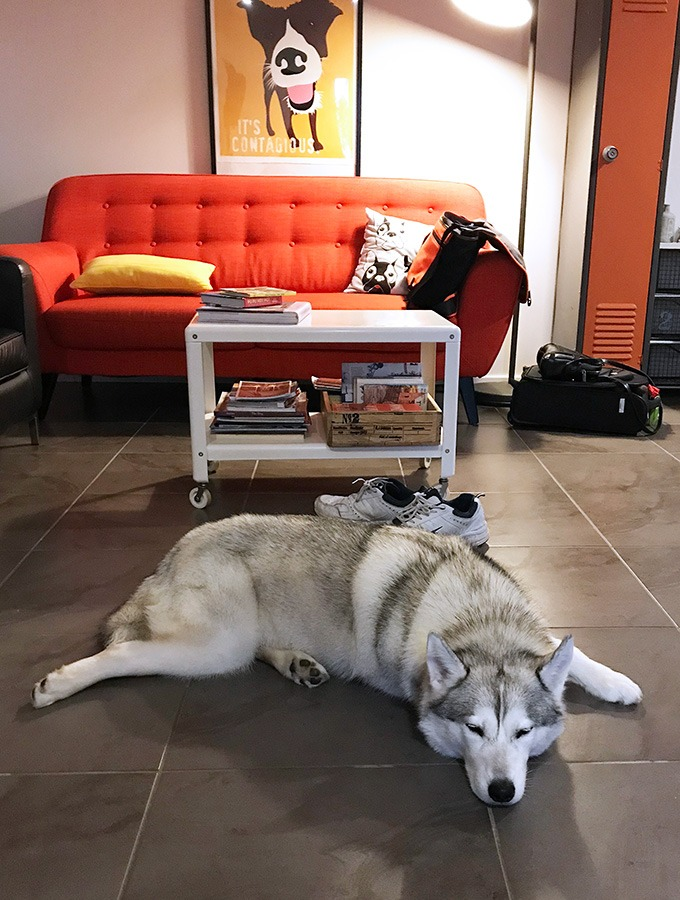 harley the husky from belly rumbles sleeping in the lounge room at the dog house port macquarie