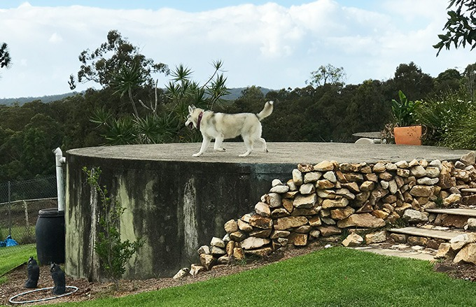 harley the husky from belly rumbles on top of the water tank at the dog house dog friendly accommodation in port maquarie