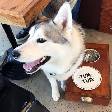 female husky at Maggies Dog Cafe waiting for her breakfast