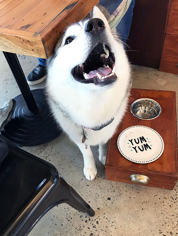 harley the husky at Maggies Dog Cafe waiting for her breakfast